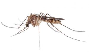 डास (Mosquito)