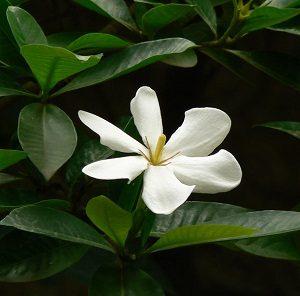 डिकेमाली (Gummy gardenia)