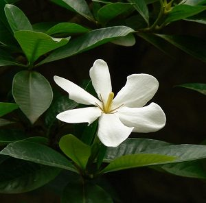 Read more about the article डिकेमाली (Gummy gardenia)