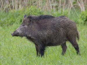 डुक्कर (Pig)
