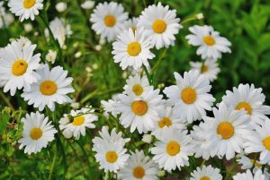 Read more about the article डेझी (Daisy)