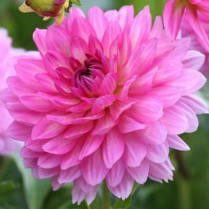 Read more about the article डेलिया (Dahlia)