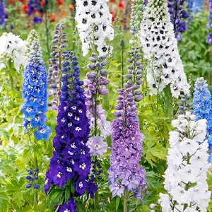 Read more about the article डेल्फिनियम (Delphinium)