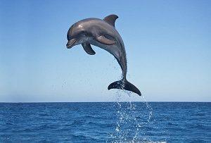 डॉल्फिन (Dolphin)