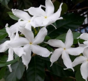 Read more about the article तगर (Crape jasmine)