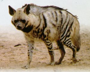 Read more about the article तरस (Hyena)