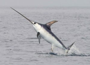 तलवार मासा ( Sword fish)