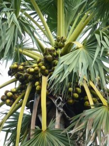 ताड (Palmyra palm)