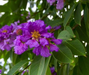 तामण (Queens flower)