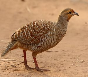 Read more about the article तितर (Partridge)
