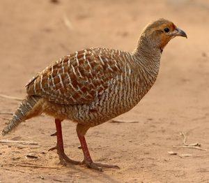 तितर (Partridge)