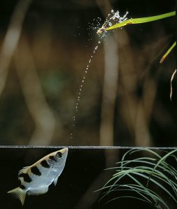 तिरंदाज मासा (Archer fish)