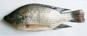 Read more about the article तिलापी (Tilapia)