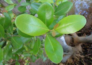तिवर (White mangrove)