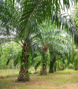 Read more about the article तेलमाड (Oil palm)