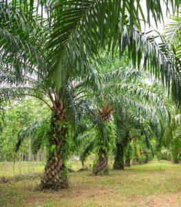तेलमाड (Oil palm)