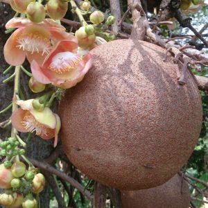 तोफगोळा वृक्ष (Cannon-ball tree)