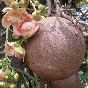 Read more about the article तोफगोळा वृक्ष (Cannon-ball tree)