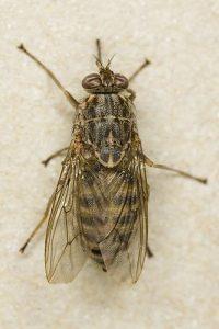 त्सेत्से माशी (Tsetse fly)
