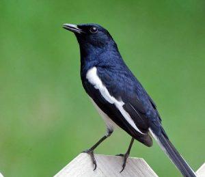 दयाळ (Magpie robin)