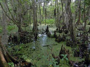 दलदल परिसंस्था (Swamp ecosystem)