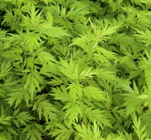 दवणा (Indian wormwood)