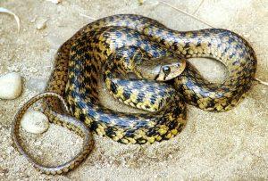 दिवड (Pond snake)