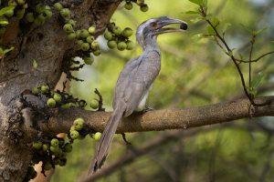 धनेश (Hornbill)
