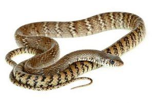 धामण (Rat snake)