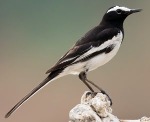 धोबी (Wagtail)