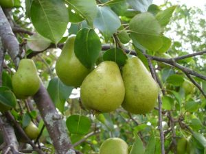 Read more about the article नासपती (Pear)