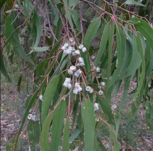 Read more about the article निलगिरी (Eucalyptus)