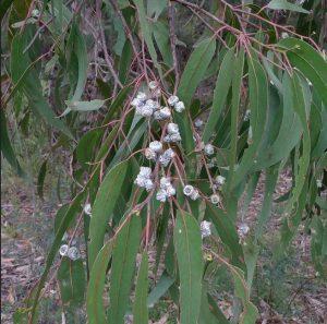 निलगिरी (Eucalyptus)