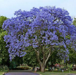 निळा मोहर (Jacaranda)