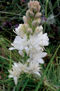 Read more about the article निशिगंध (Tuberose)