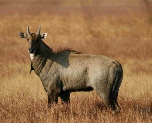 Read more about the article नीलगाय (Nilgai)