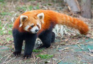पंडा (Panda)