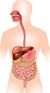 पचन संस्था (Digestive System)
