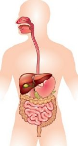 Read more about the article पचन संस्था (Digestive System)