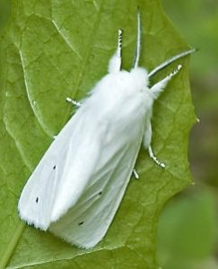 Read more about the article पतंग (Moth)
