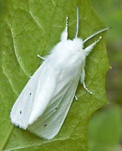 पतंग (Moth)