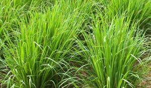 Read more about the article रोहिश गवत (Rosha grass)
