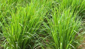 रोहिश गवत (Rosha grass)
