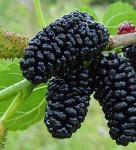 तुती (Mulberry)