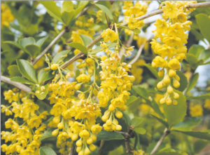दारुहळद (Indian barberry)