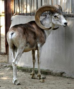 नयन / तिबेटी मेंढी (Tibetan argali)