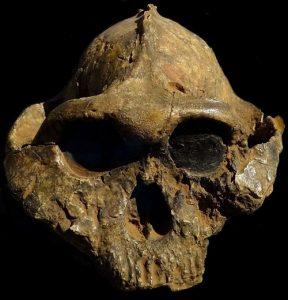 पॅरान्थ्रोपस बॉइसी (Paranthropus boisei)