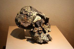 केनिॲन्थ्रोपस प्लॅटिओप्स (Kenyanthropus platyops)