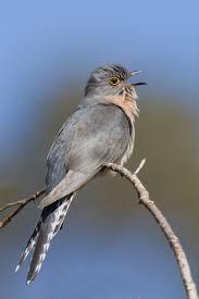 कोकिळ (Cuckoo)