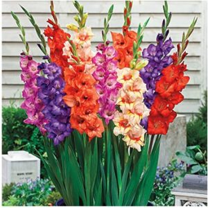 ग्लॅडिओलस (Gladiolus)